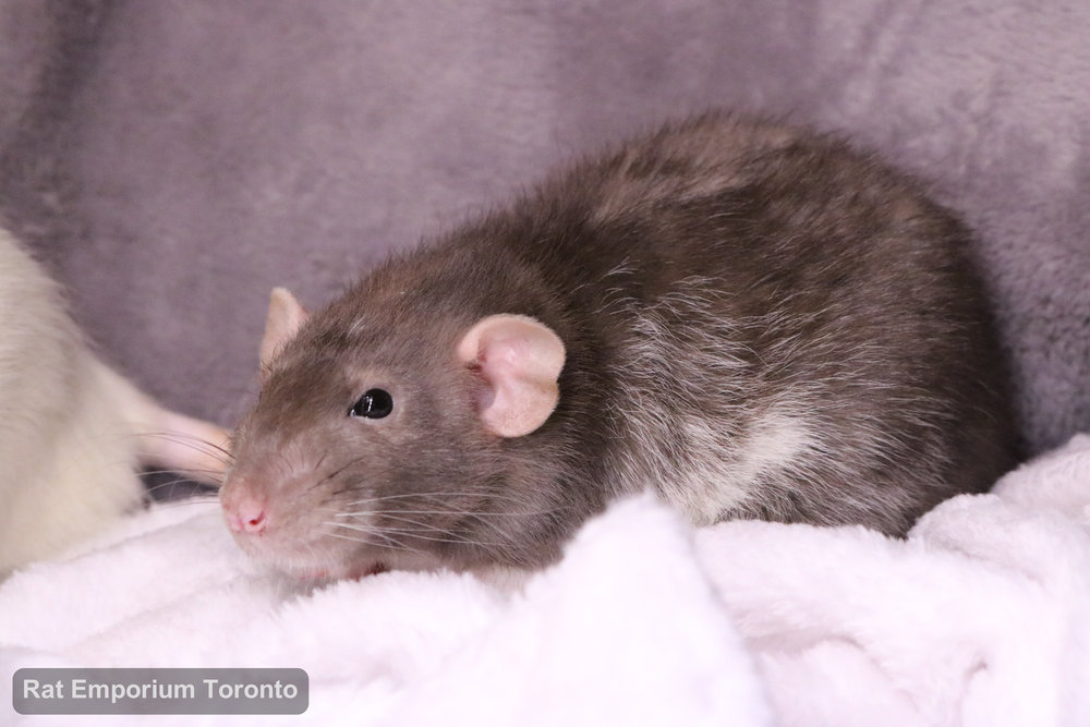 Pippin, my mink dumbo velveteen rat - born and raised at the Rat Emporium Toronto - adopt pet rats - rat breeder
