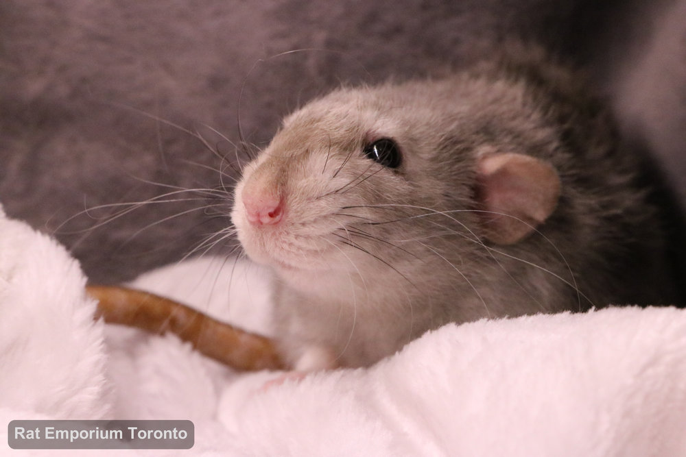 Daze, my black eyed marten dumbo velveteen rat - born and raised at the Rat Emporium Toronto - adopt pet rats - rat breeder