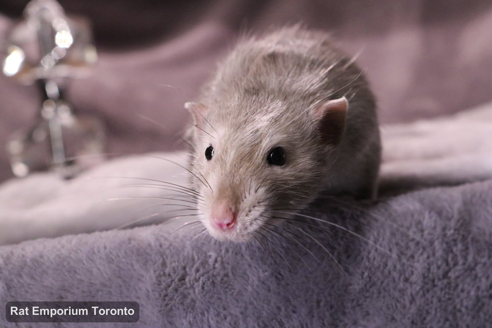 Pogo, my black eyed marten dumbo rat - born and raised at the Rat Emporium Toronto - adopt pet rats - rat breeder