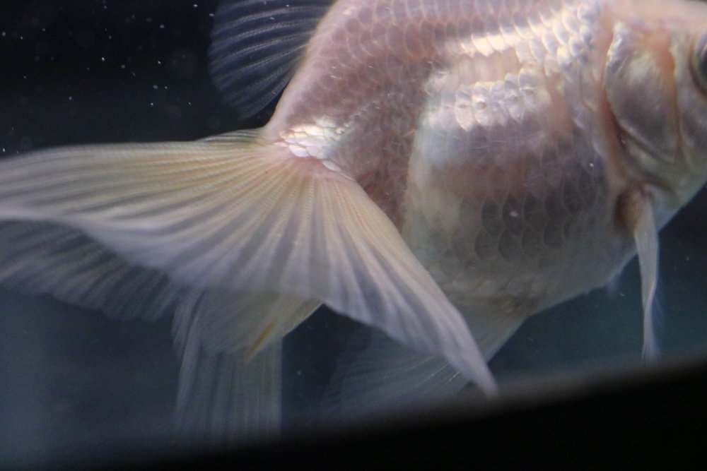 Abbi - my white ryukin goldfish - with missing scales and red streaking in her tail due to undetected high ammonia levels in the tank.