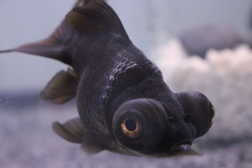 Marvin - my black moore goldfish - with a buildup of unknown white on his scales possibly due to undetected high ammonia levels in the tank. Still determining cause and have tried many treatments.