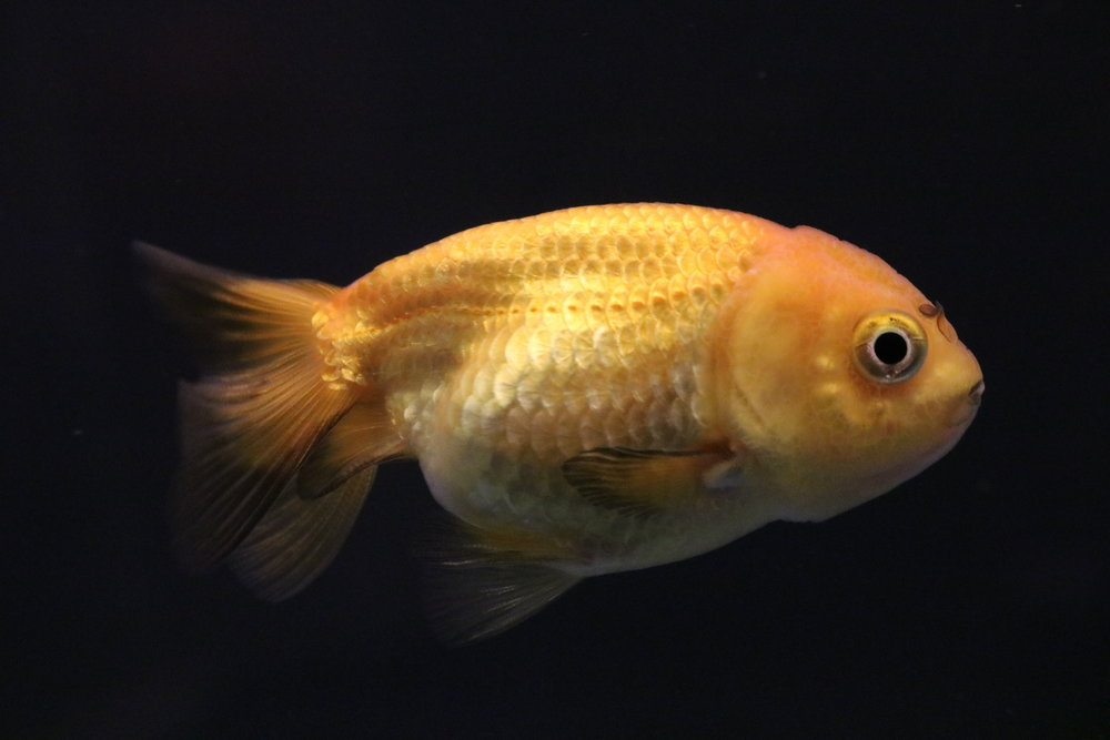 Meme - my orange and black goldfish