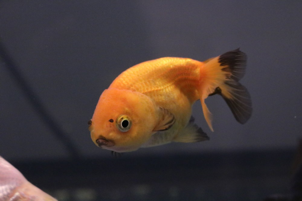 Meme - my orange and black goldfish - raised at Rat Emporium Toronto