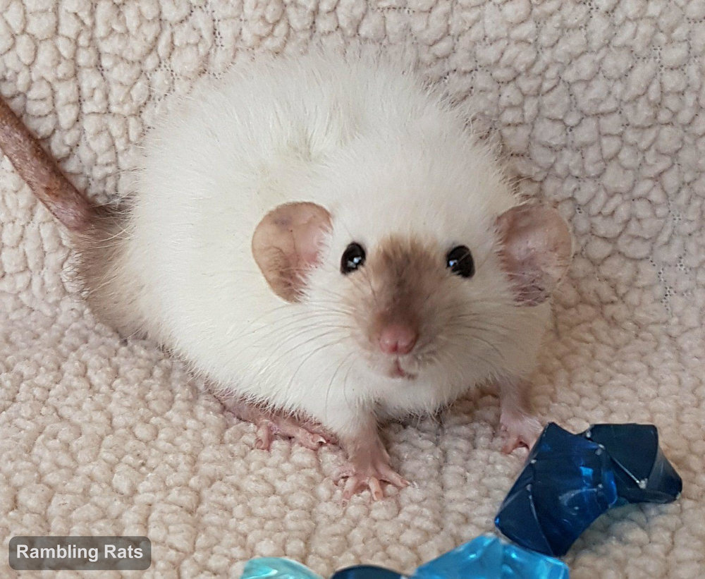 black eyed siamese dwarf rat