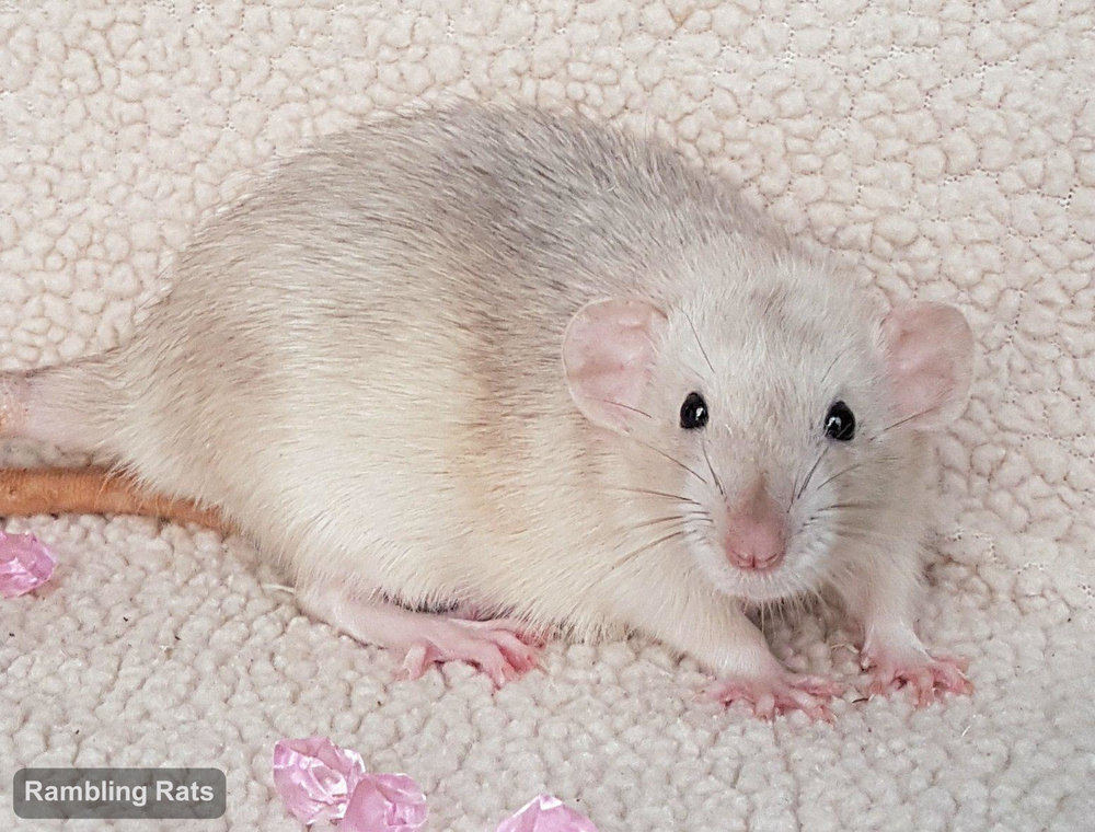 black eyed silver agouti marten rat
