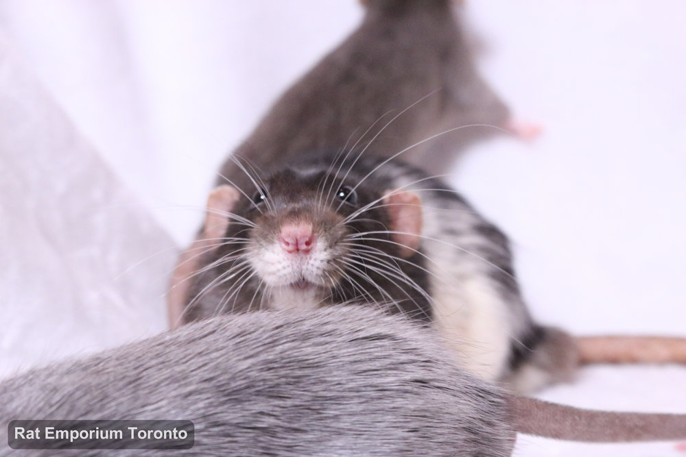 black and white variegated dumbo rat, mink dumbo rat, black silvermane dumbo rat - born and raised at Rat Emporium Toronto - pet rat breeder - adopt pet rats Toronto