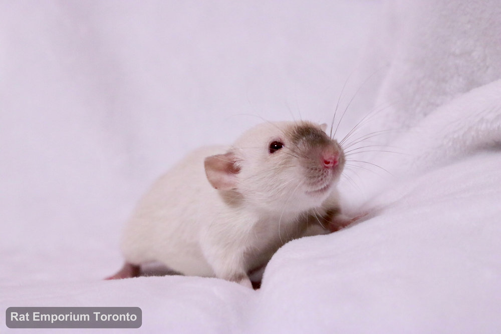 female siamese dumbo rat - born and raised at the Rat Emporium Toronto - rat breeder - adopt pet rats Toronto