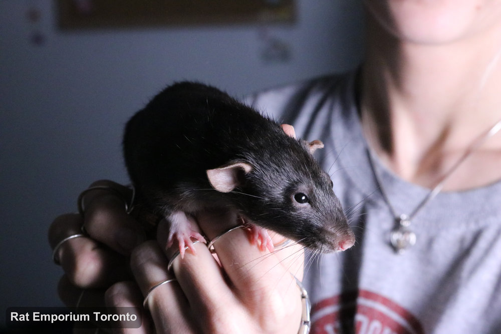 Karla - black dumbo rat born and raised at Rat Emporium Toronto - adopt pet rats Toronto - rat breeder