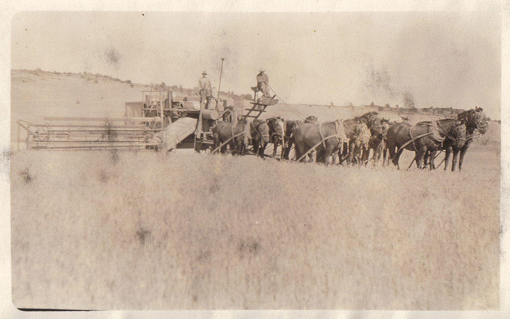Horse-drawn wheat harvest at Double F Ranch, 1920s