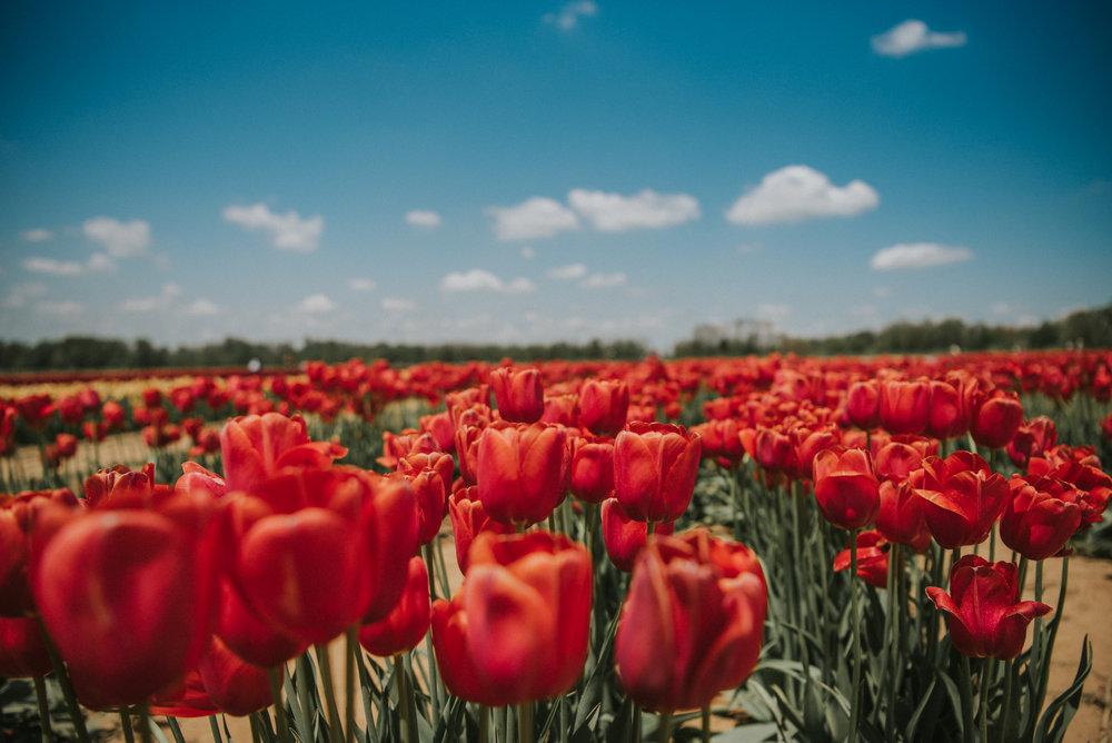 Tulips-49.jpg