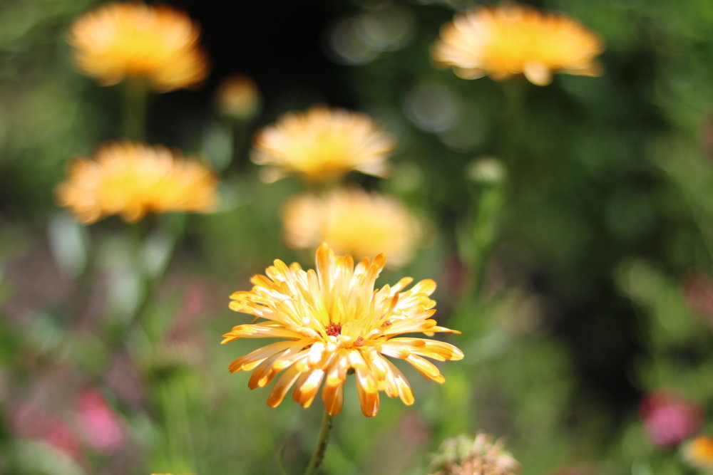 Candula officinalis-     Asteraceae- Pot Marigold