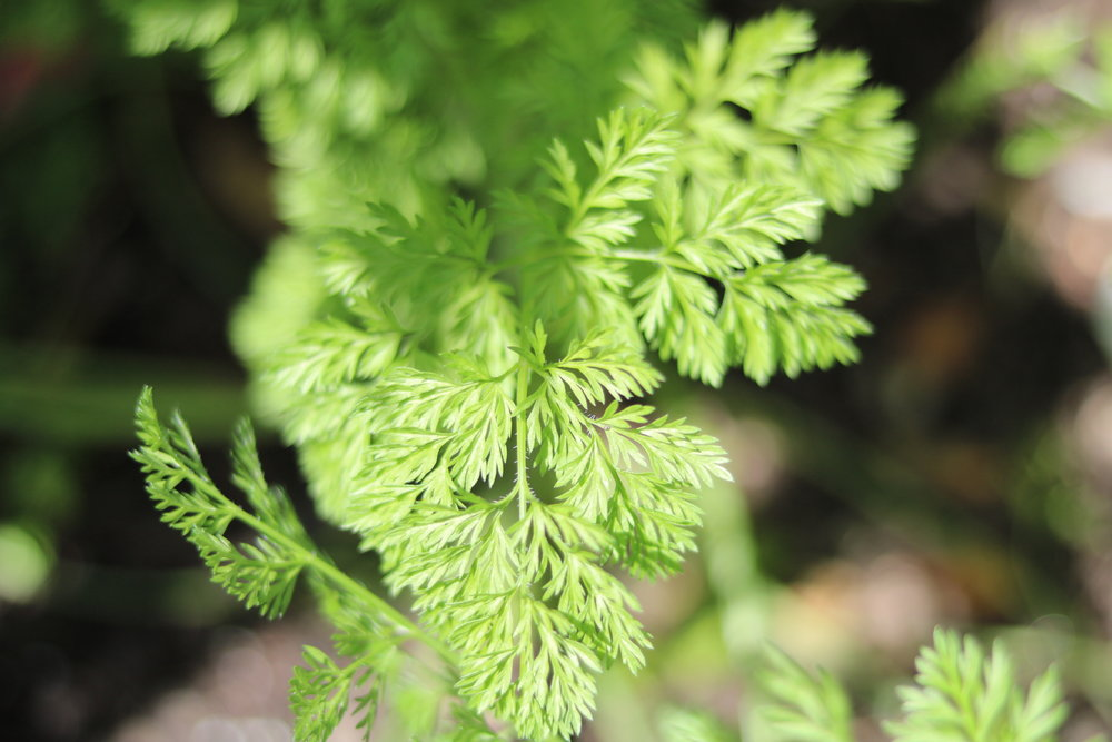 Selinum wallichianum     - Apiaceae (China to Pakistan)- Wallich Milk Parsley