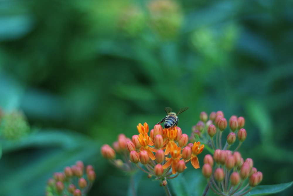 Asclepias tuberosa-   Apocynaceae- Butterfly weed