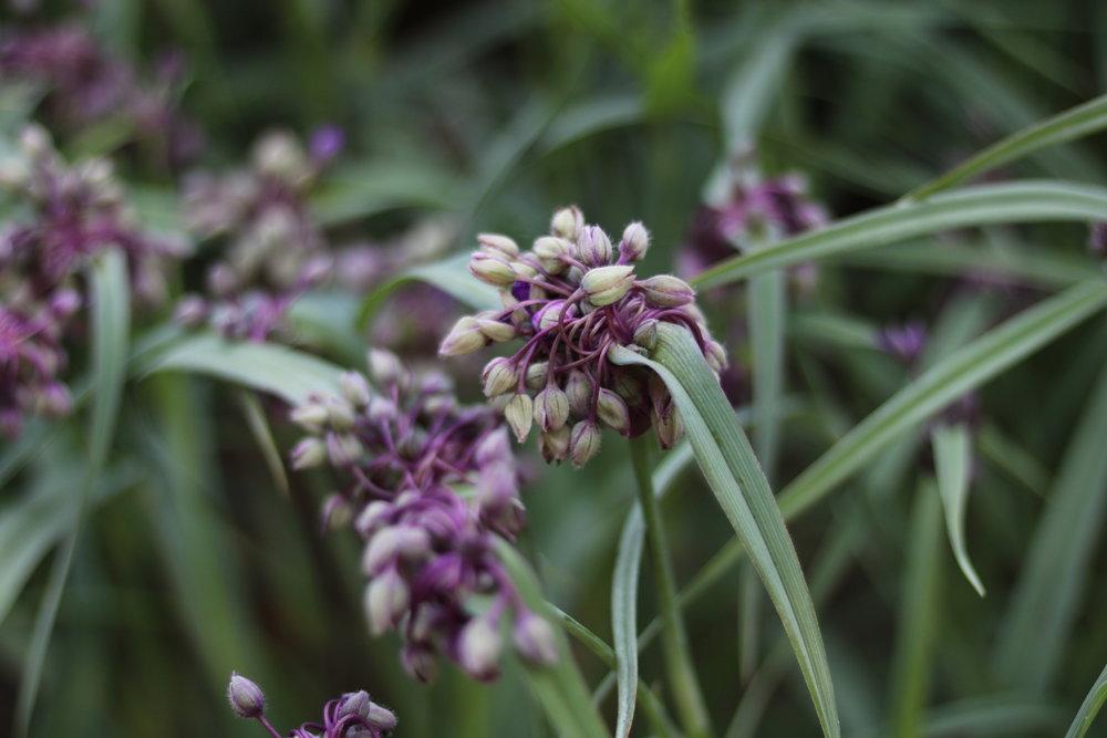 Tradescantia   - Commelinaceae- Concord grape spiderwort