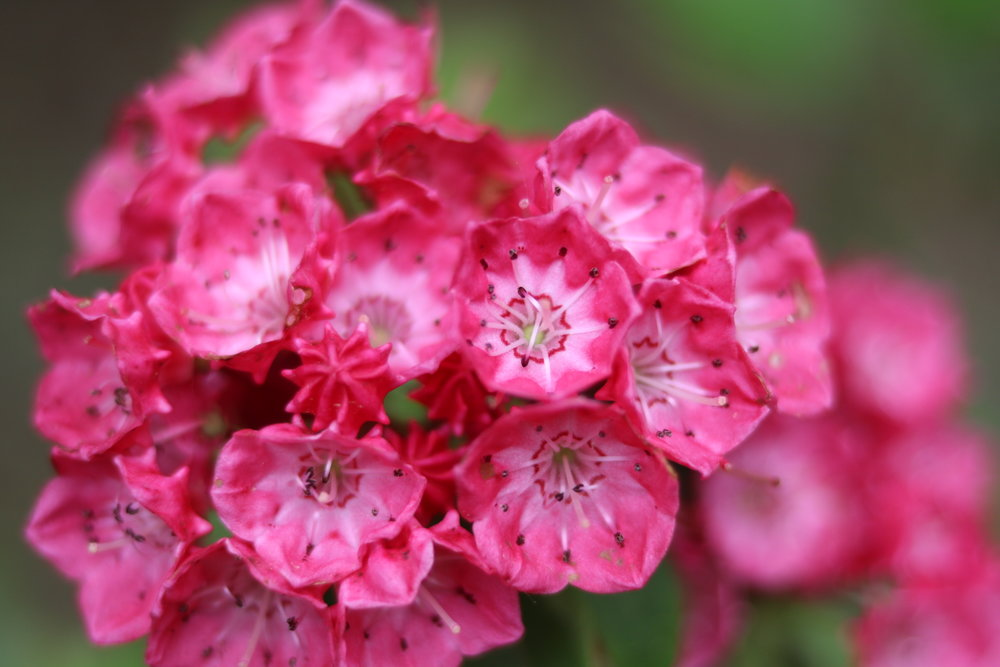 Kalmia    latifolia-   Mountain Laurel