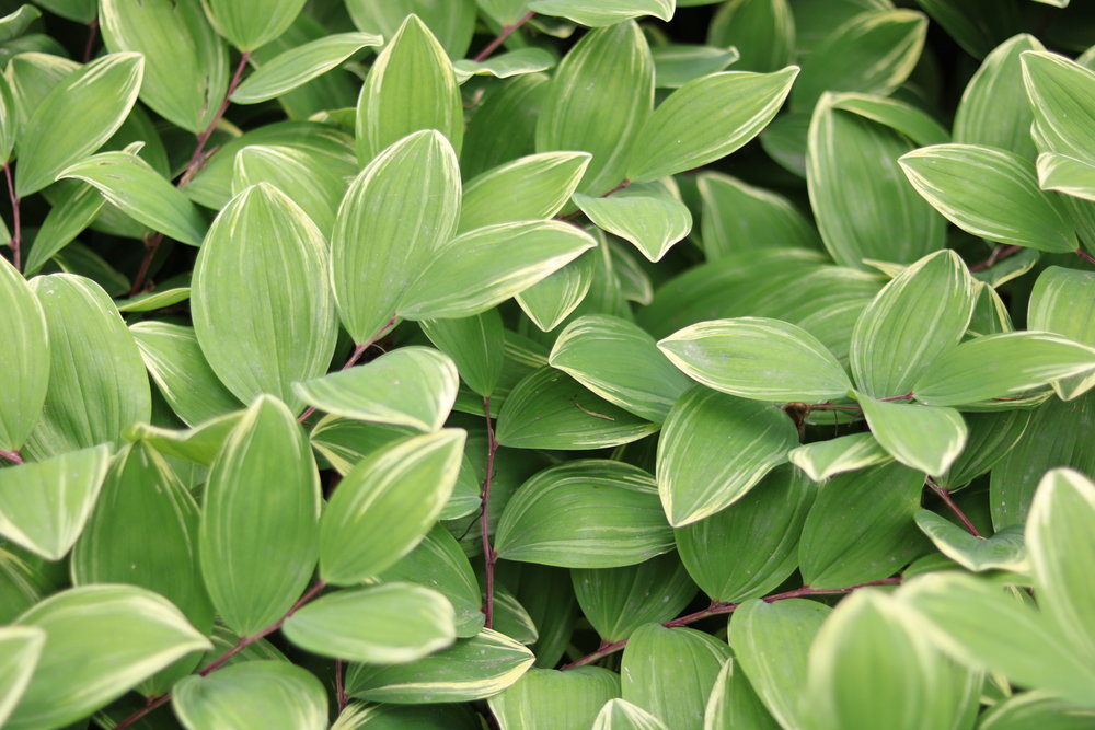 Polygonatum odoratum-     Variegated Solomon's Seal