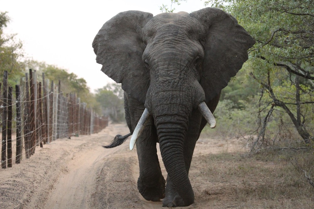 angry elephant chasing 2.jpg