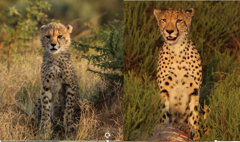 comparison cheetah