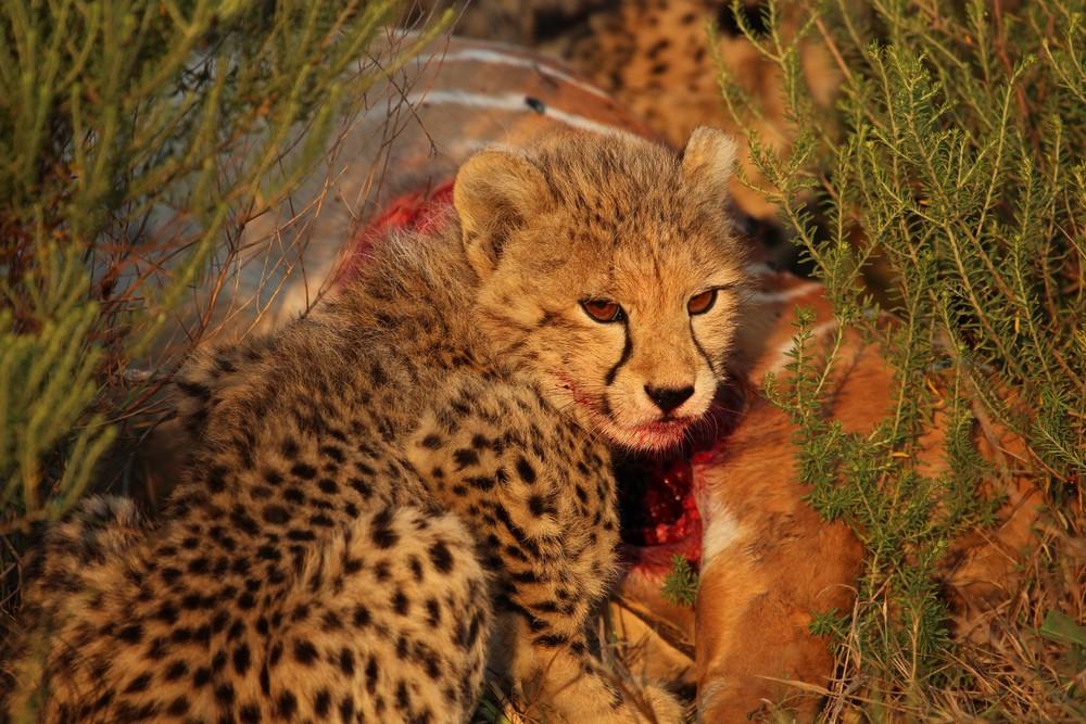 natgeo baby cheetah