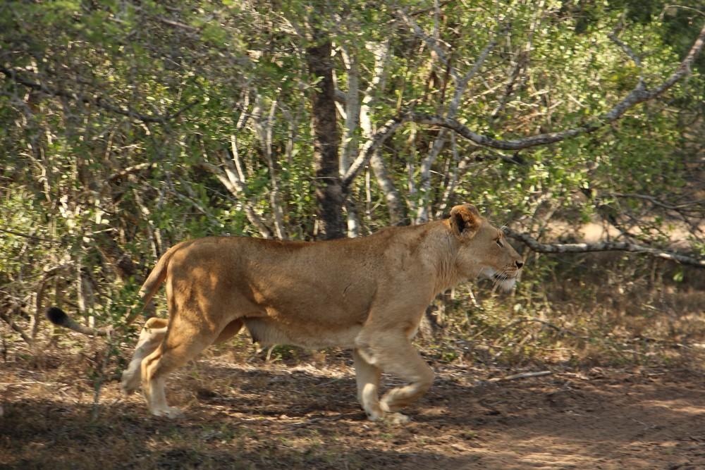 runaway lionness