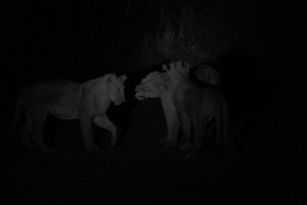 lion pack