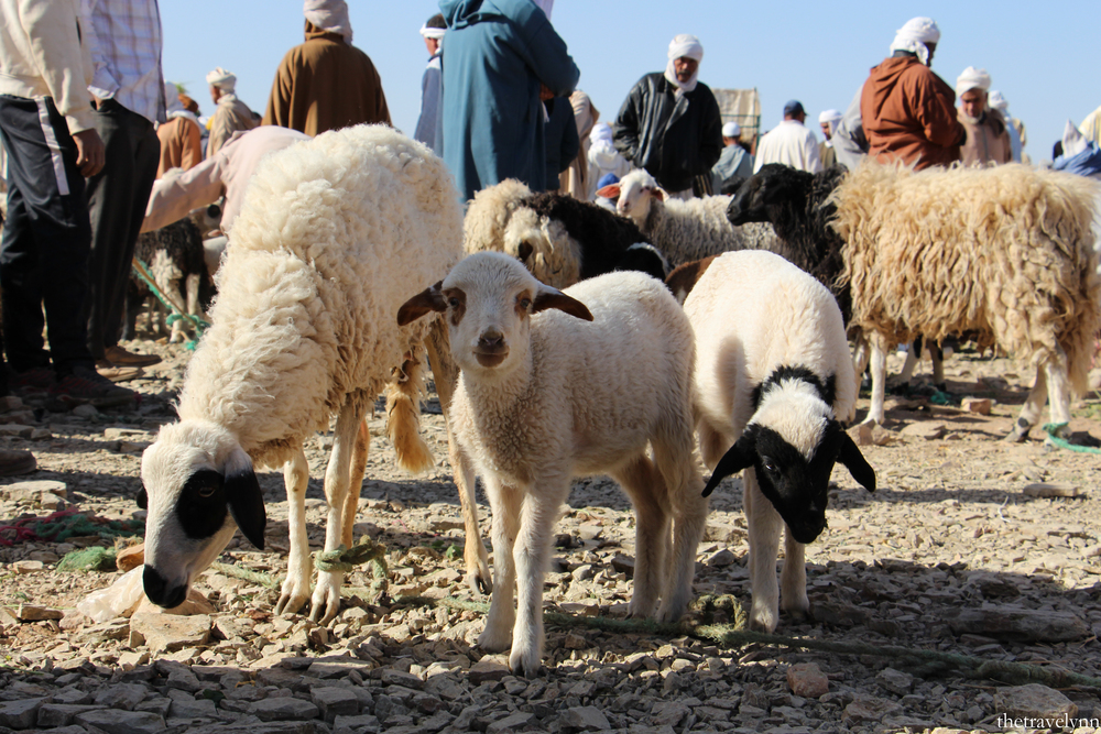 Berber Market animals