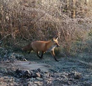 I named a fox after Dahl. This is Roald. - www.foxruneec.org