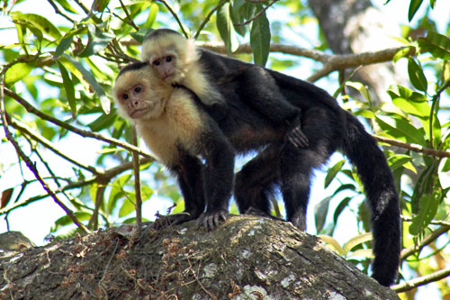 Costa-Rica-Manuel-Antonio-National-Park-white-headed-capuchin-monkeys1.jpg