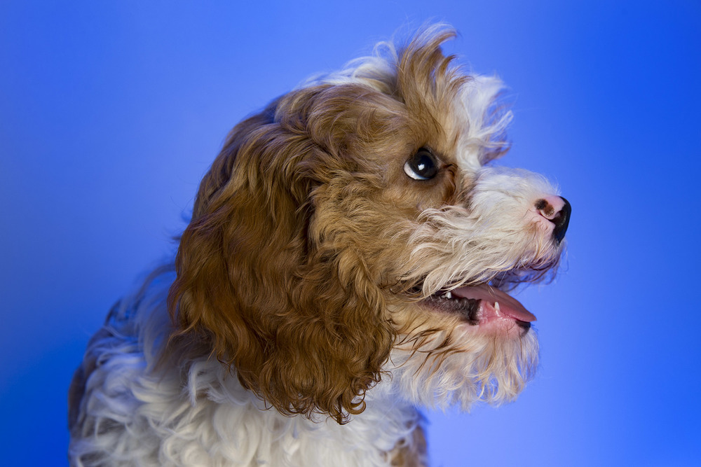 Pet_Town_Cavoodle_11_July_16_1.jpg