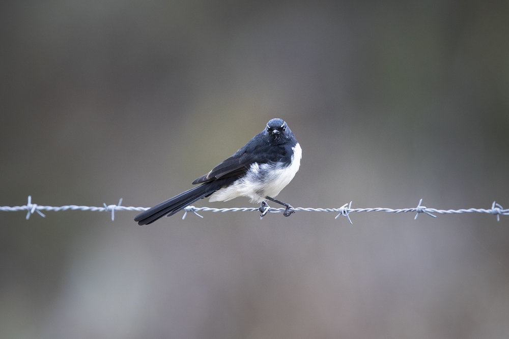 Willie_Wagtail_1.jpg