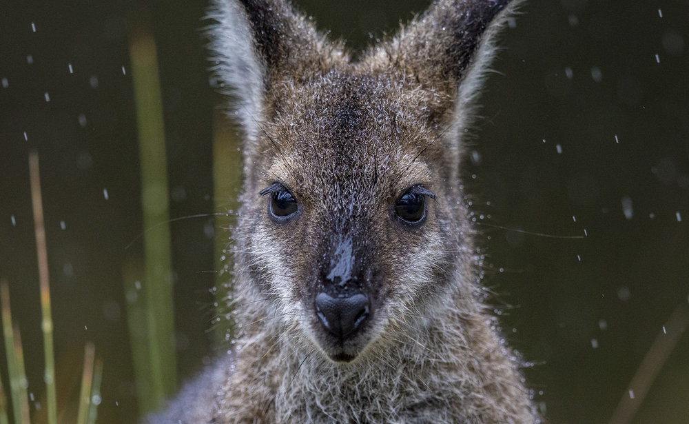 Wallaby_1.jpg