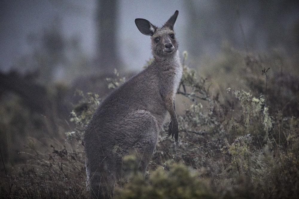 Kangaroo_2.jpg