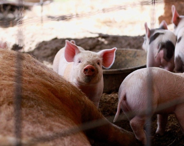The piglets were born last month... right around one of Vermont's freak Spring snowstorms.