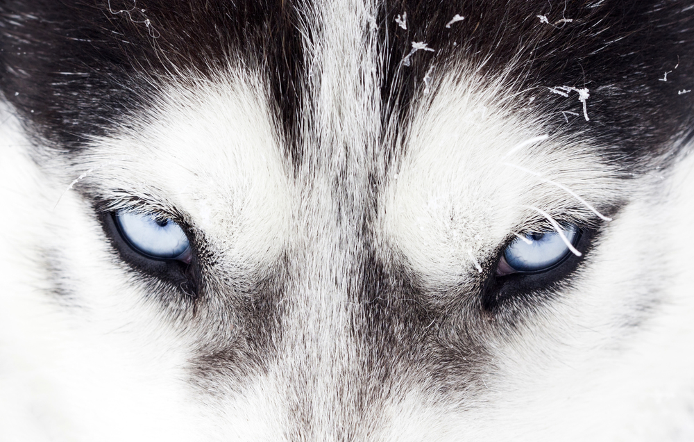 Siberian Husky Heritage — Toby's Tale