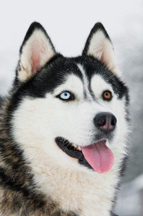Siberian Husky Heritage Toby S Tale