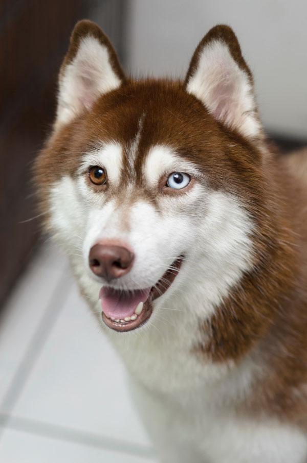 Siberian Husky Heritage — Toby\'s Tale