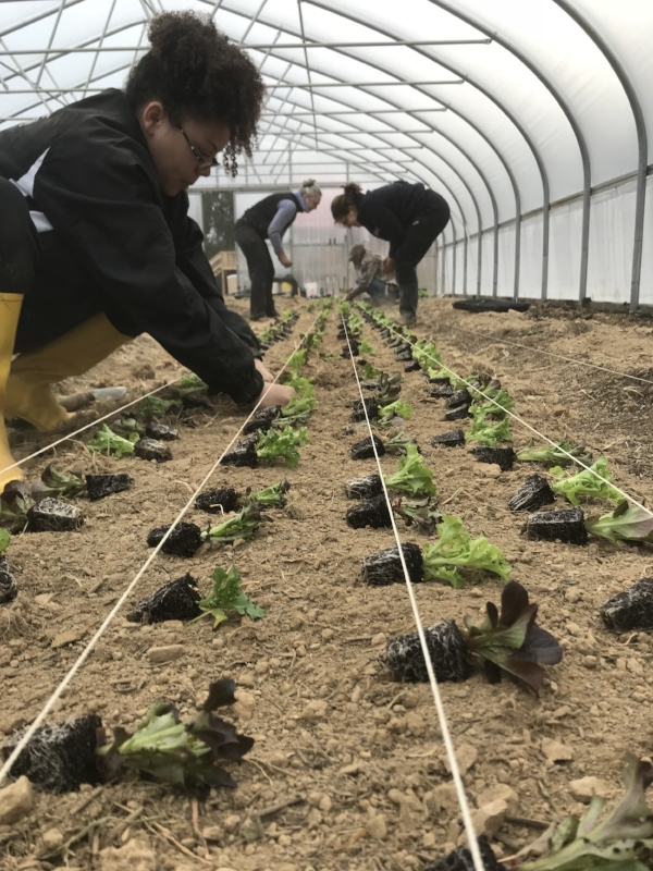 Many hands plant lettuce mix in the greenhouse!