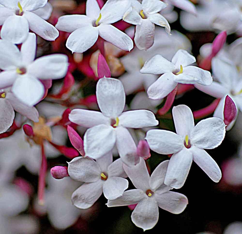 jasmine-sambac.jpg
