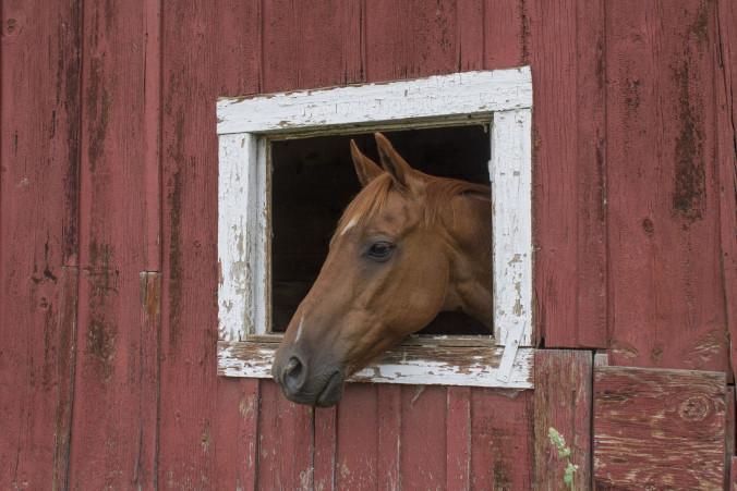 """Otis"" the horse."