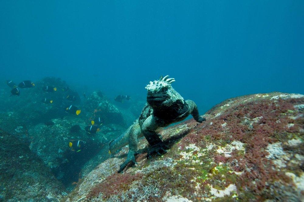 Marine-Iguana_Galapagos-Island_jpg.jpg