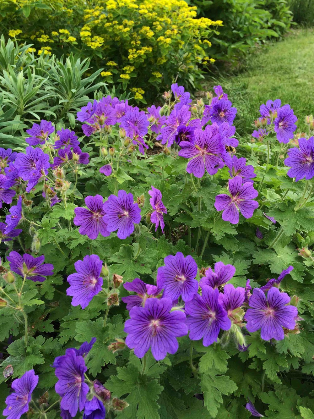 Geranium 'Johnsons Blue'