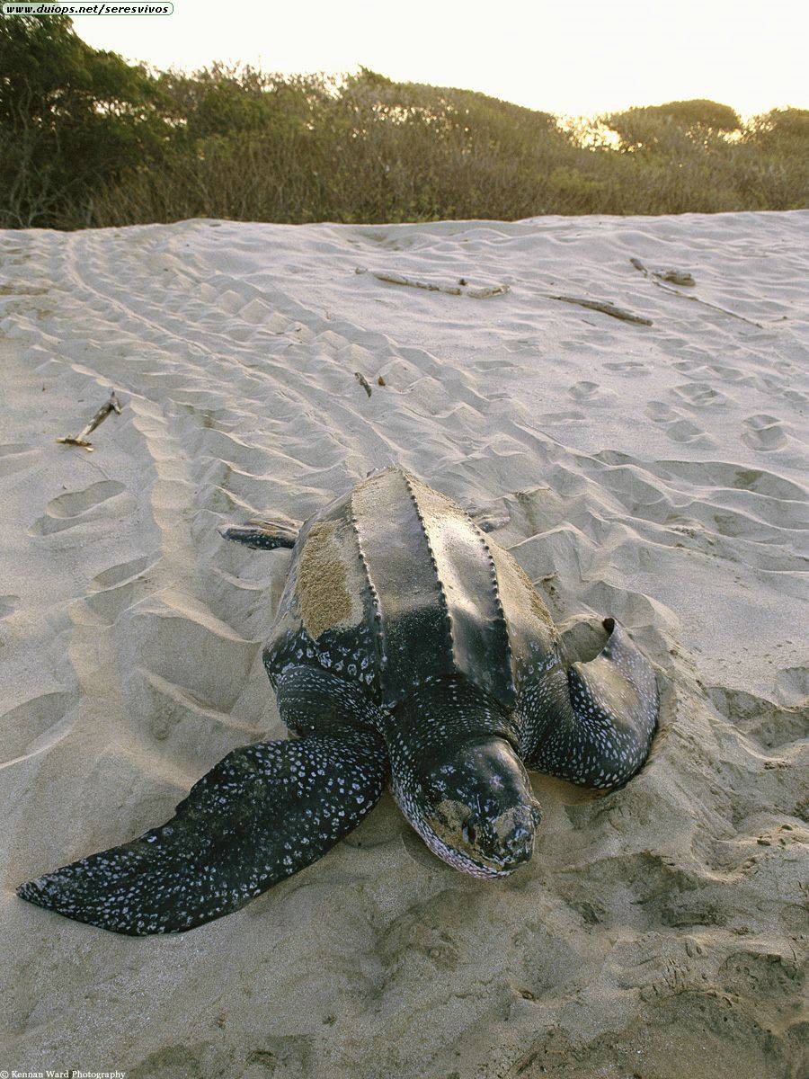 Slow Journey, Leatherback Turtle, Costa Rica.jpg