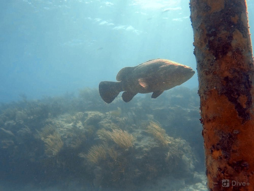 Goliath Grouper on Looe Key Reef