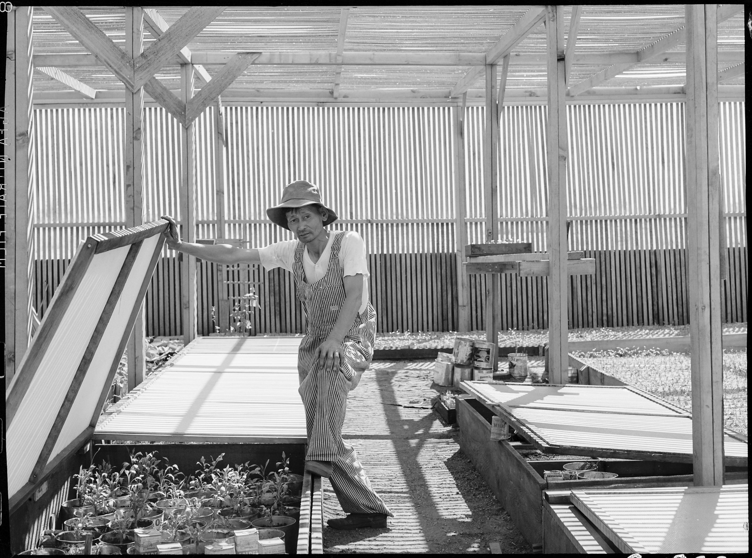 PRINT AVAILABLE June 28, 1942 — Manzanar Relocation Center, Manzanar, California. Guayule beds in the lath house at the Manzanar Relocation Center.