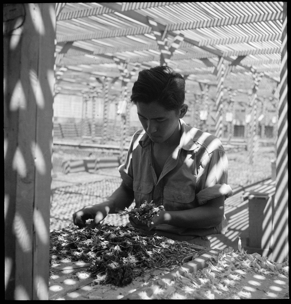 Manzanar Relocation Center, Manzanar, California. An evacuee is shown in the lath house sorting see . . .
