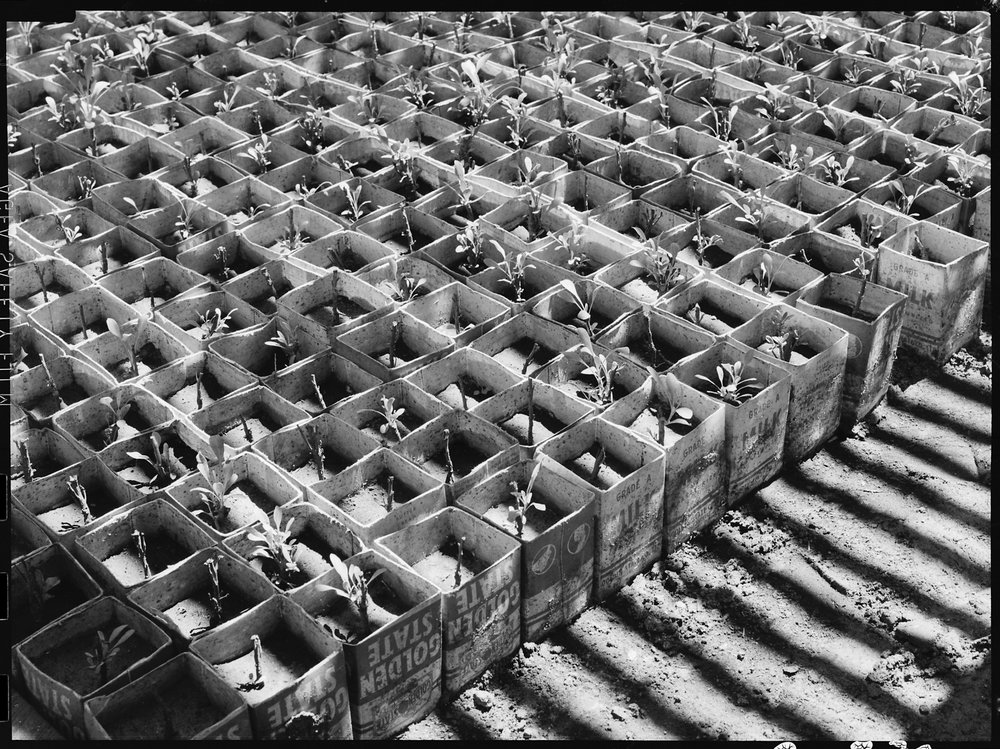 Manzanar Relocation Center, Manzanar, California. In the lath house of the guyaule rubber experimen . . .