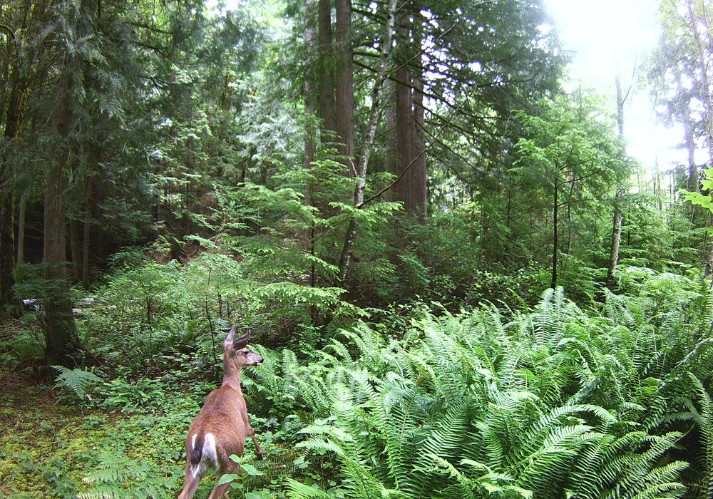 Deer, wildlife camera