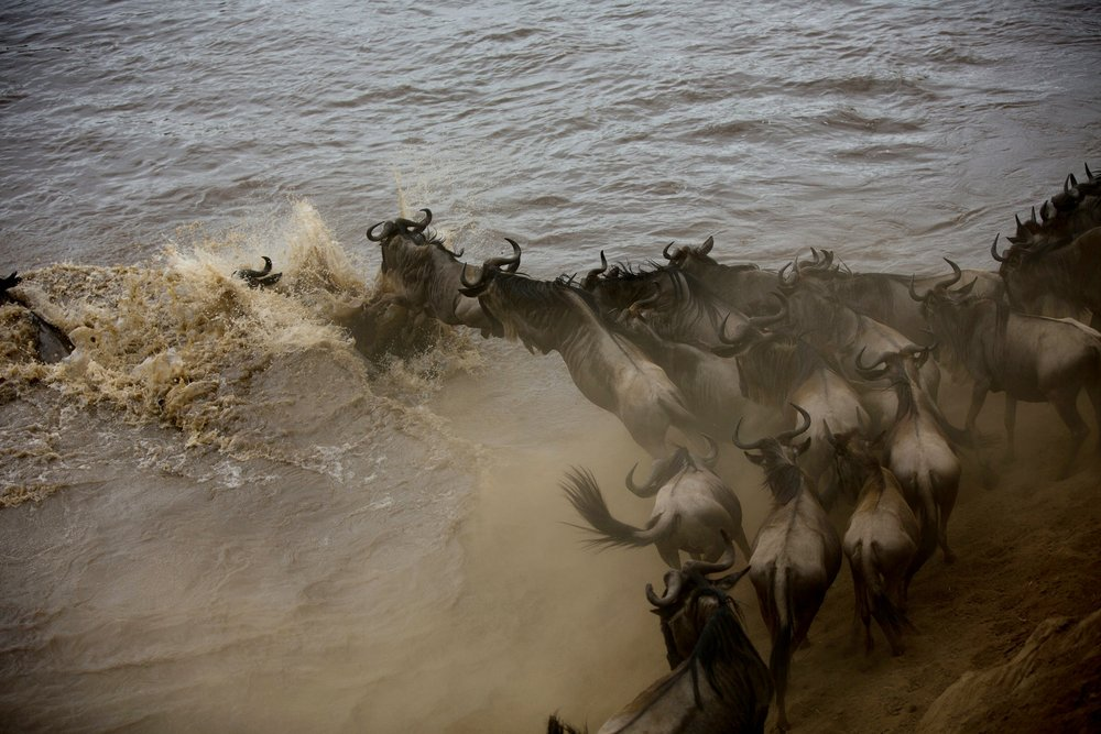 Wildebeests leaping into the Mara river in Tanzania during the Great Migration