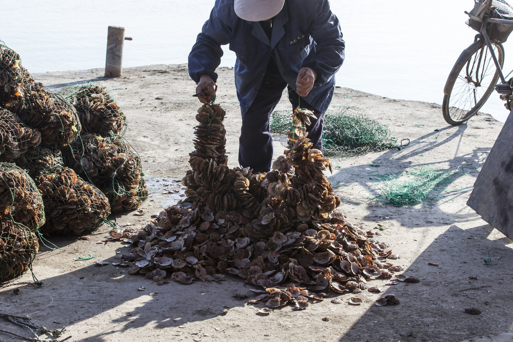 In Ya Tou Zhen, we visit a private oyster farm. In one method of cultivating oysters, a substrate is required onto which the oyster can attach as a 'spat' and subsequently grow. In Ya Tou Zhen, the substrate is old clam shells.