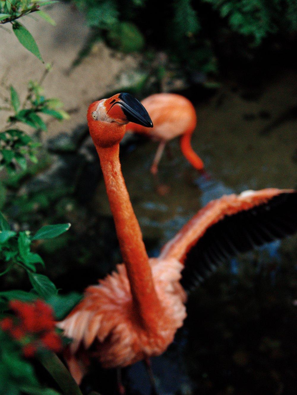 florida keys flamingo